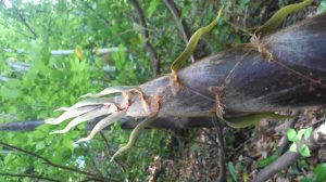 Large bamboo shoot