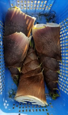 Wildcrafted bamboo shoots